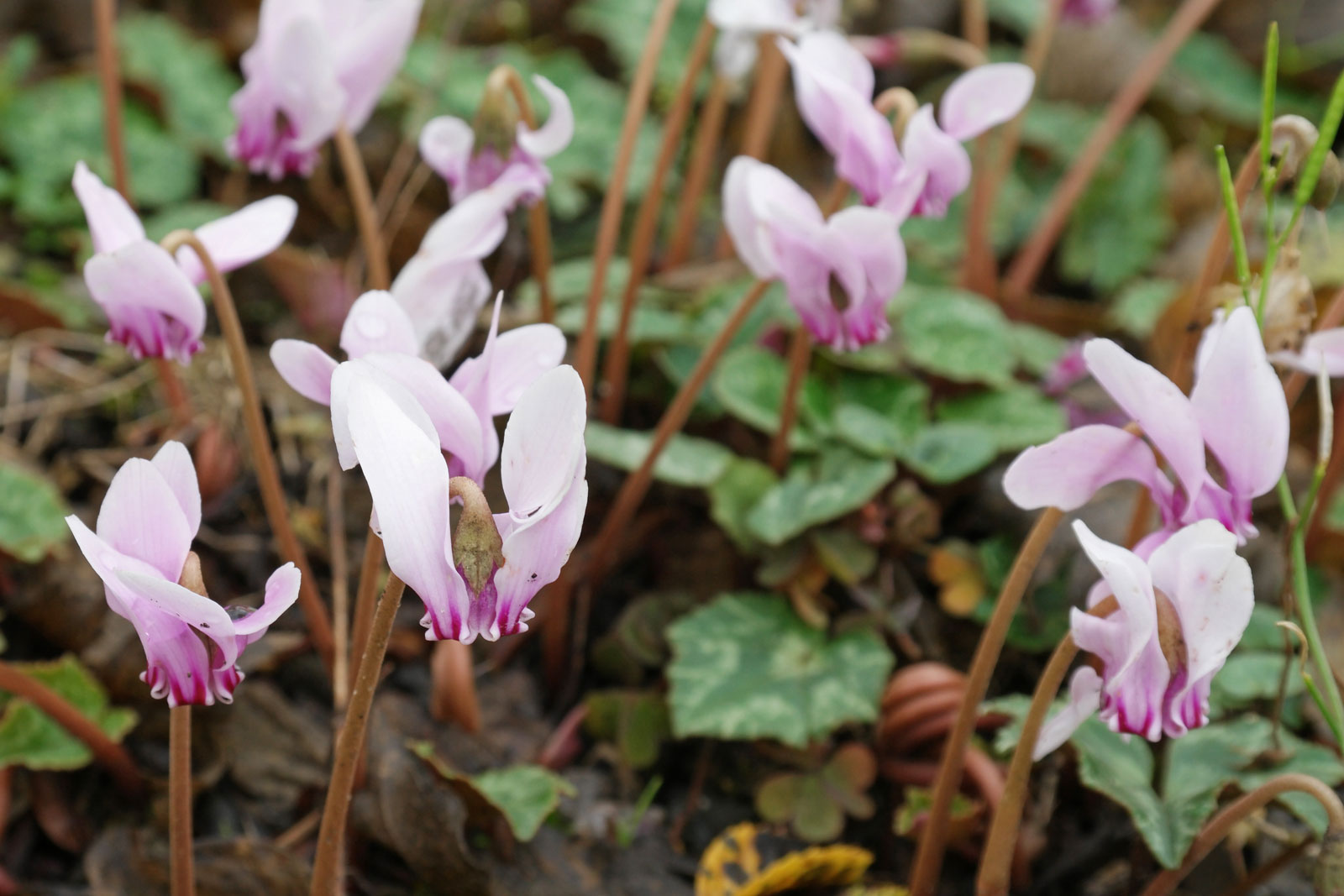 cyclamen-hederifolium-3