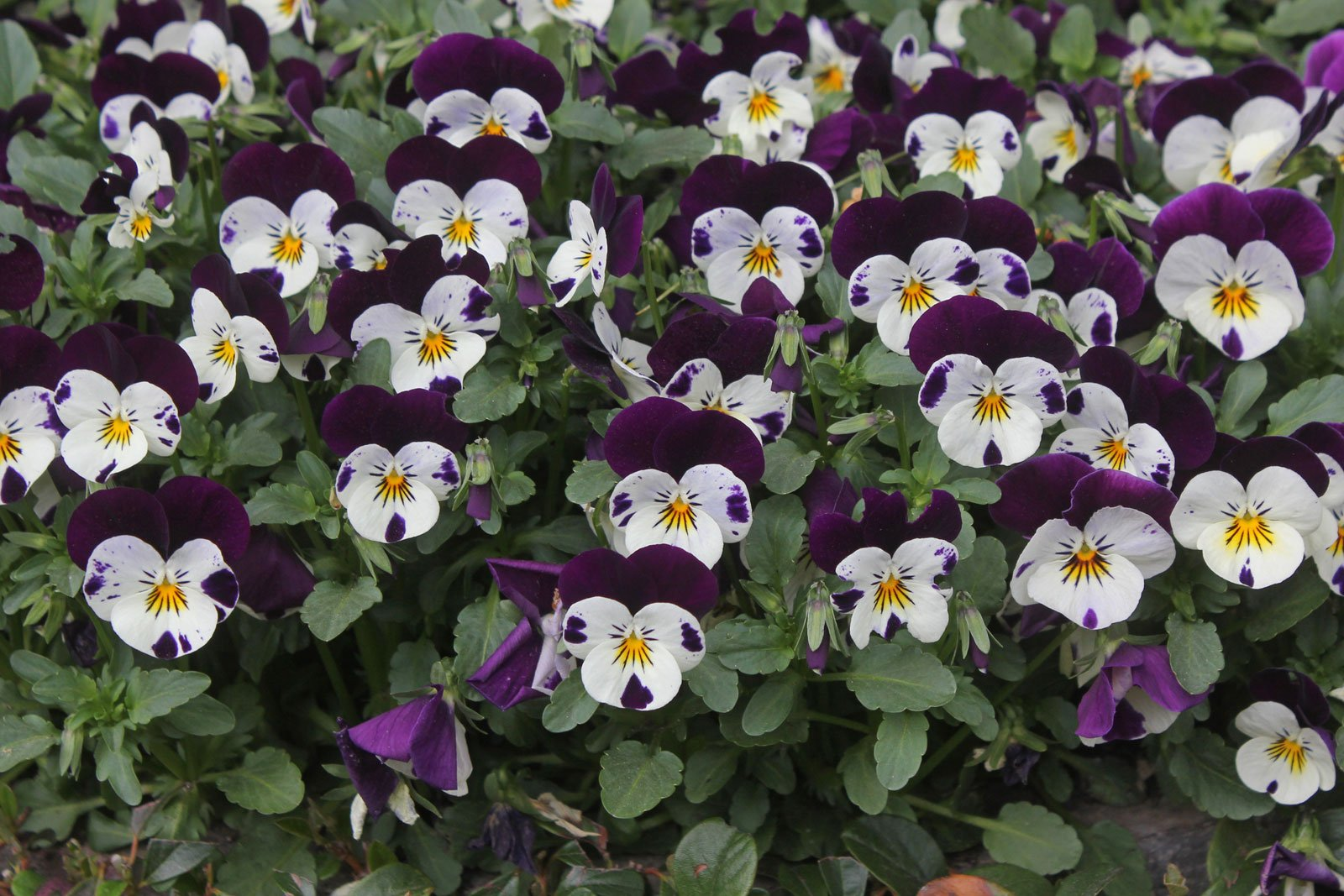 Viola cornuta