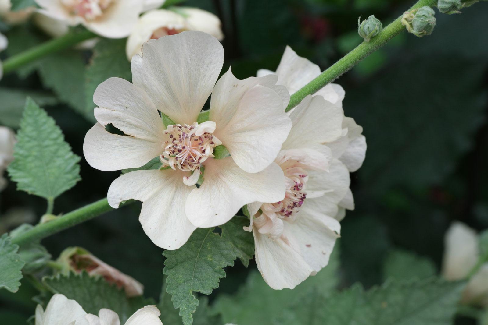 alcalthaea-suffrutescens-2