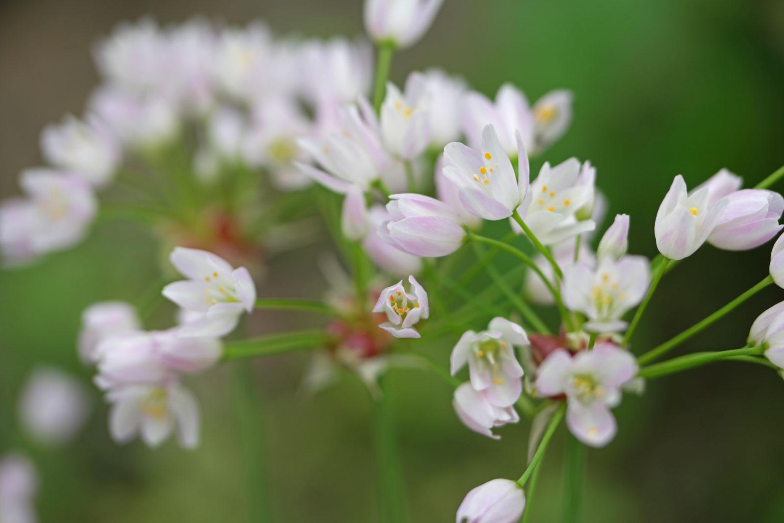 allium-roseum