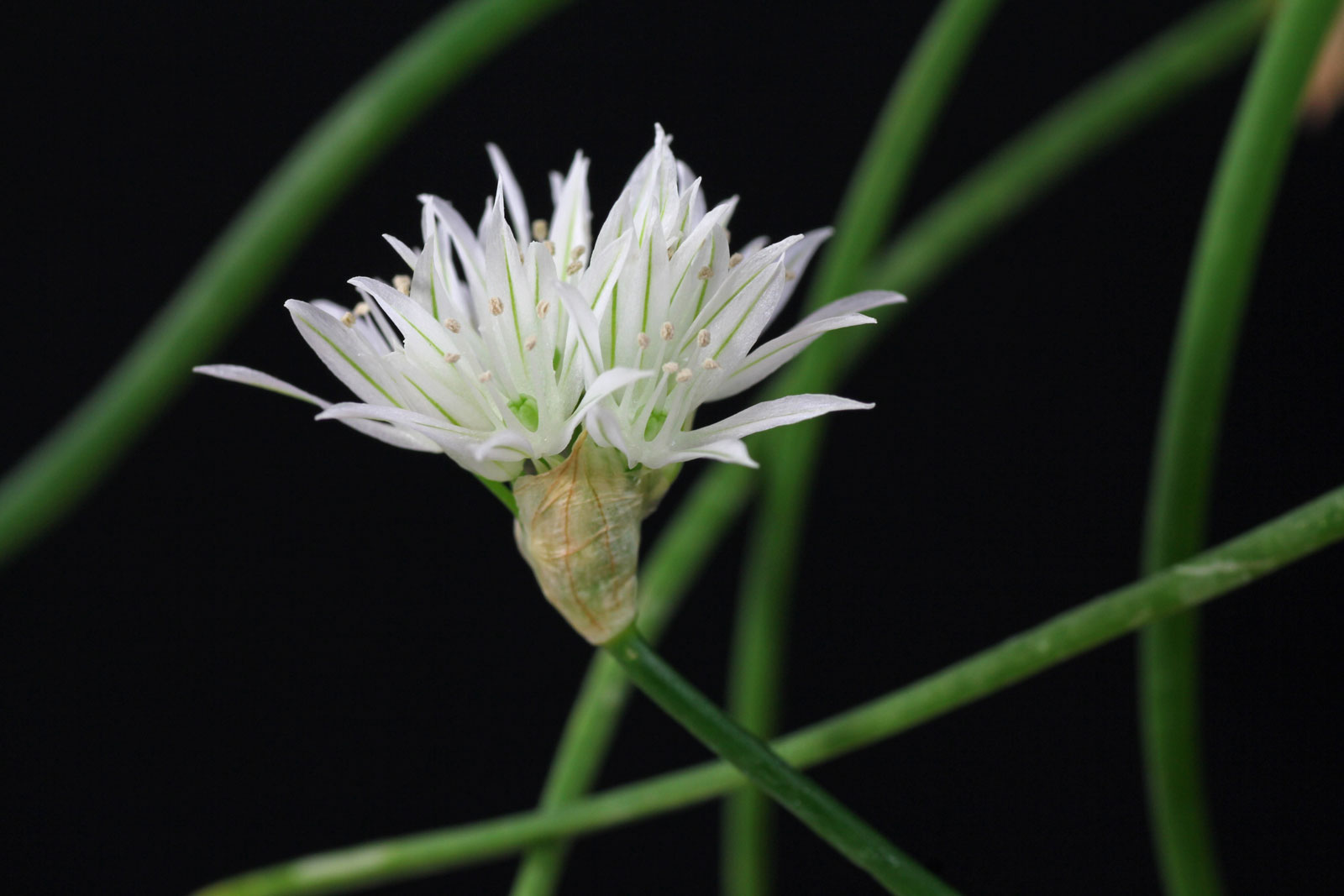 allium-schoenoprasum-4