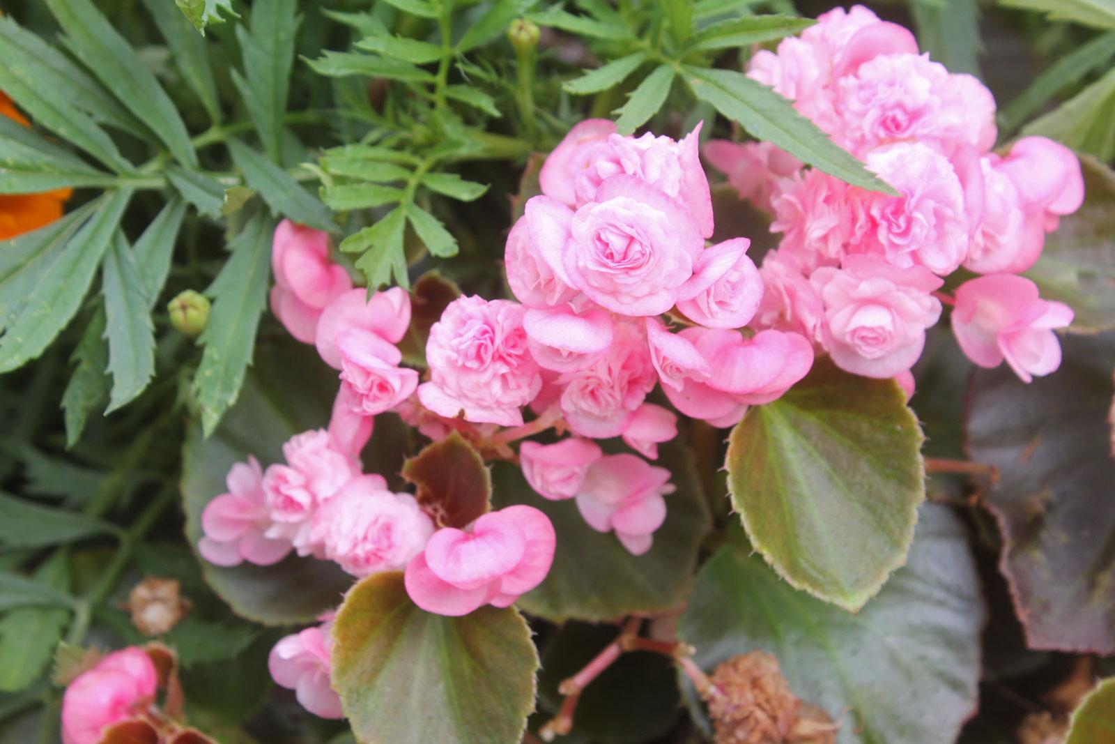 begonia-semperflorens-3