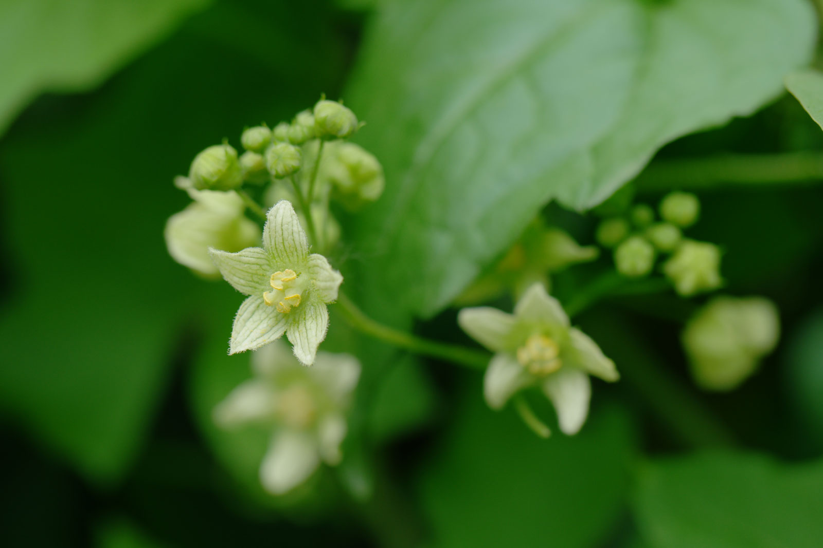bryonia-dioica-1