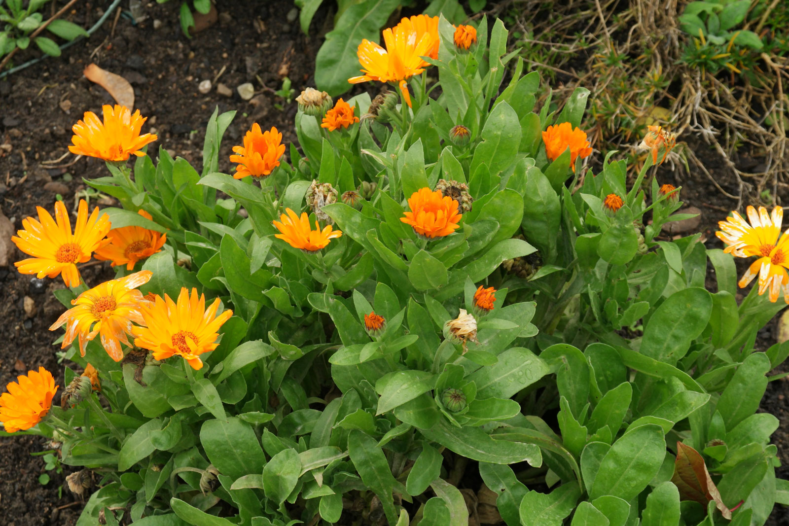 calendula-officinalis-2