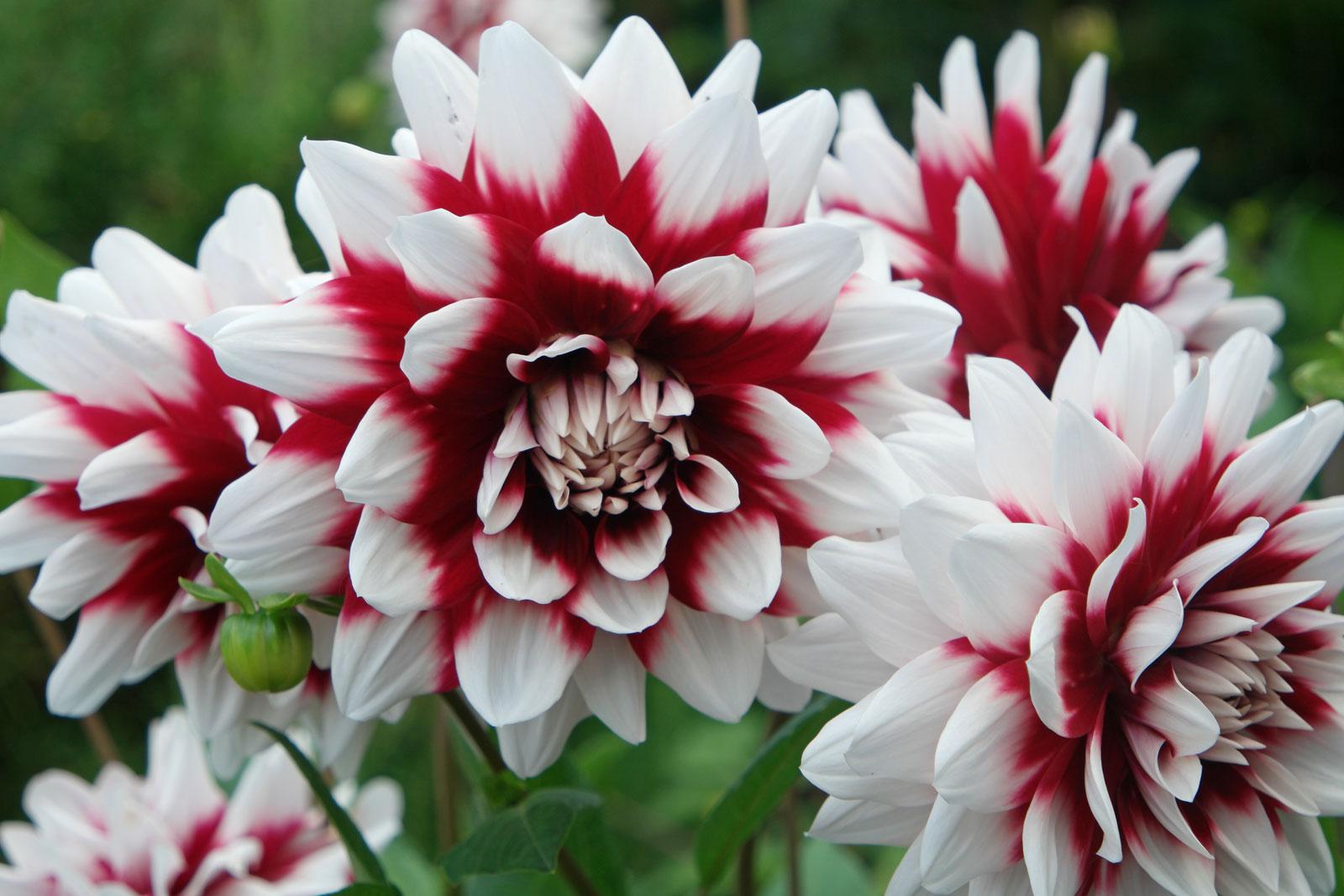 dahlia-hortensis-1