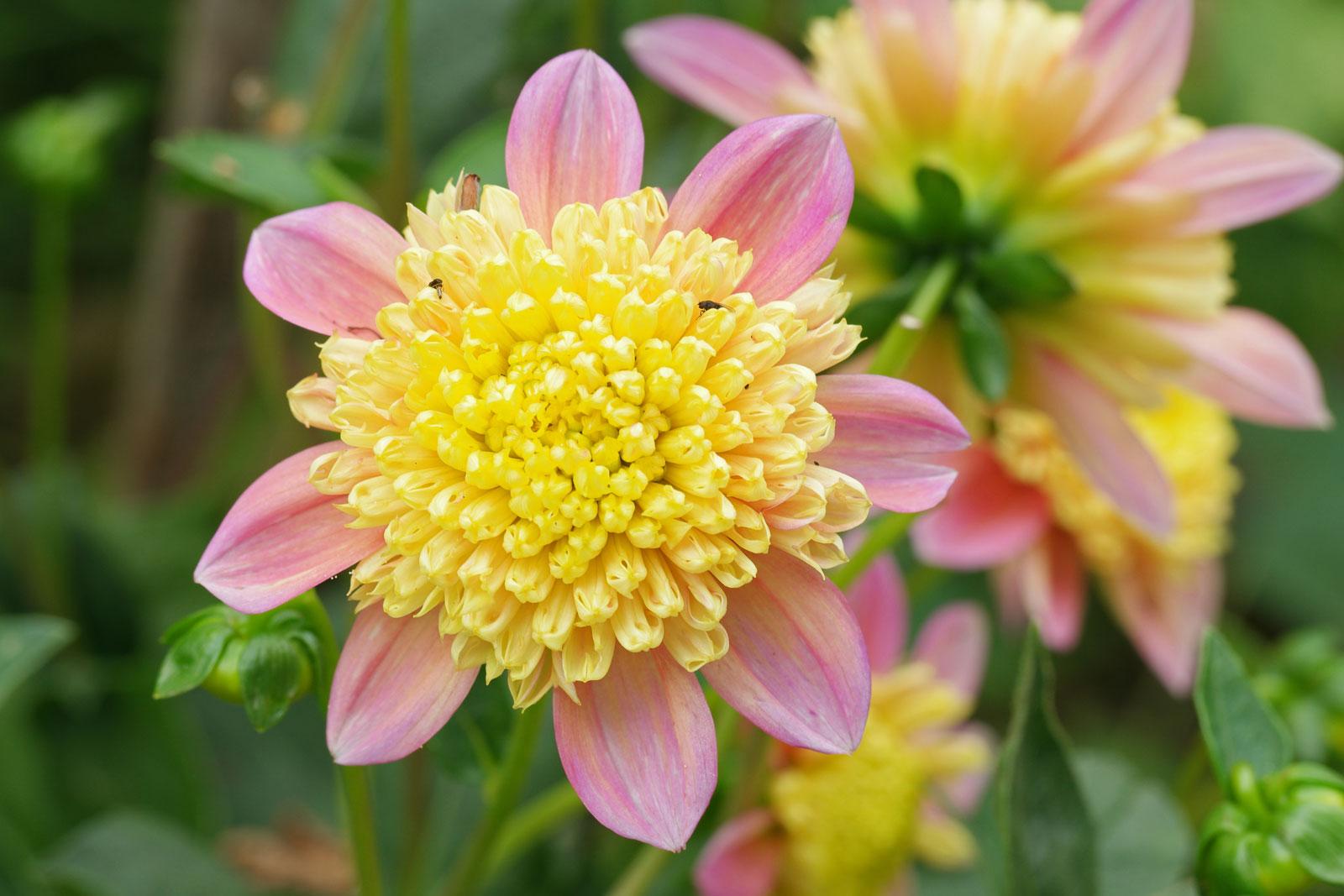 dahlia-hortensis-3