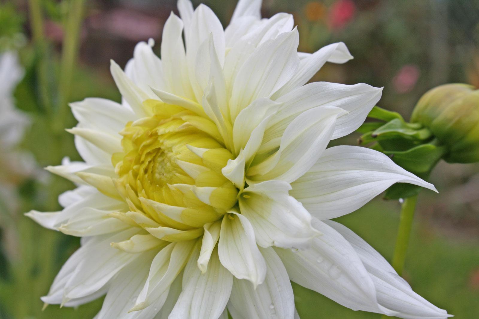 dahlia-hortensis-4
