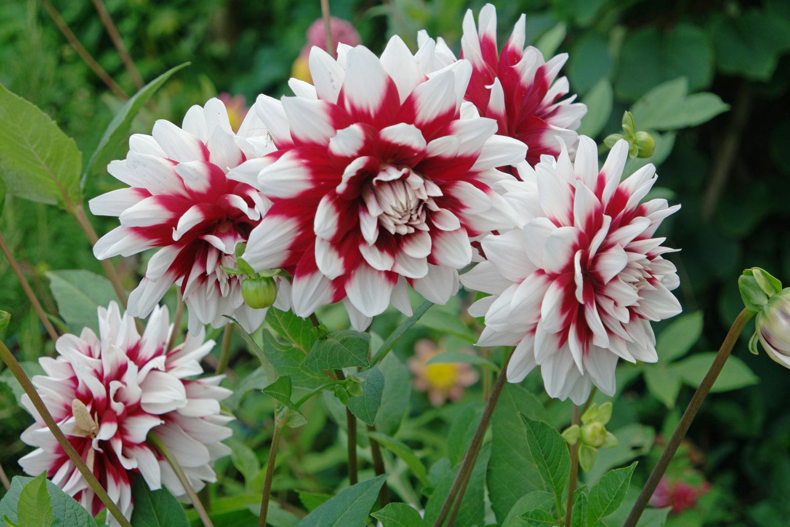 dahlia-hortensis