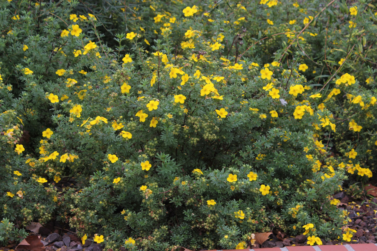 dasiphora-fruticosa