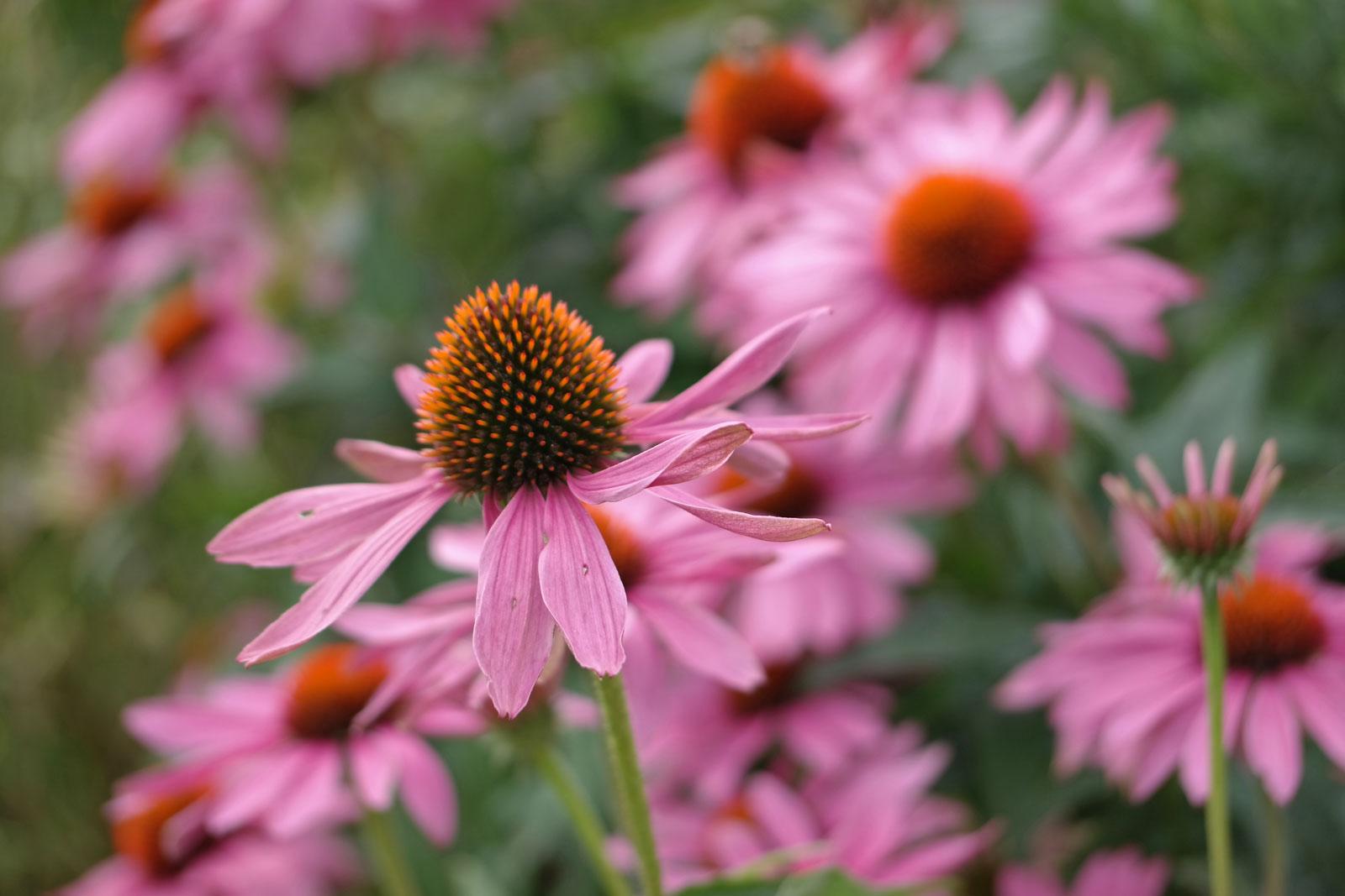 echinacea-purpurea-1