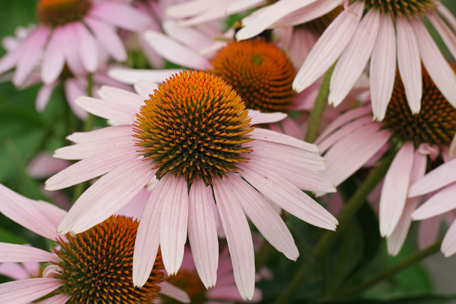 echinacea-purpurea-3