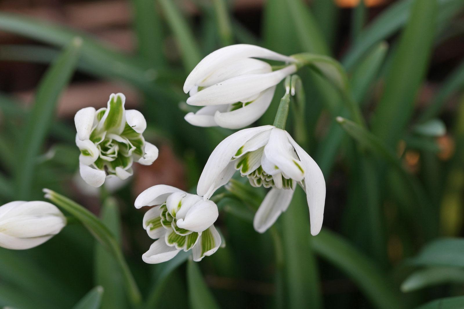 galanthus-nivalis-3
