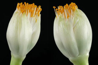 Haemanthus albiflos