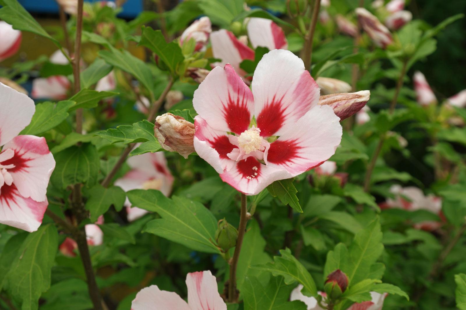 hibiscus-syriacus-1