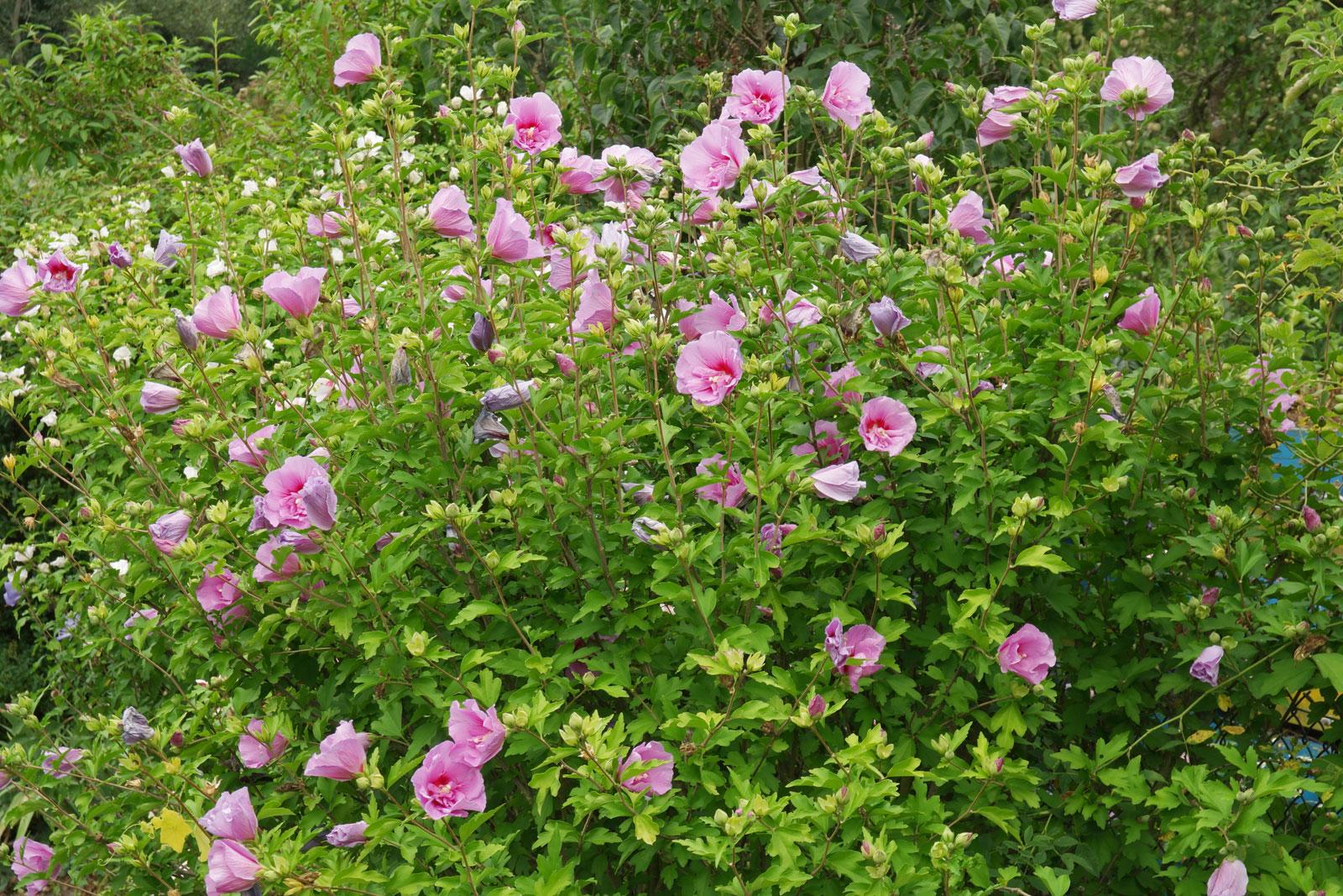 hibiscus-syriacus-2