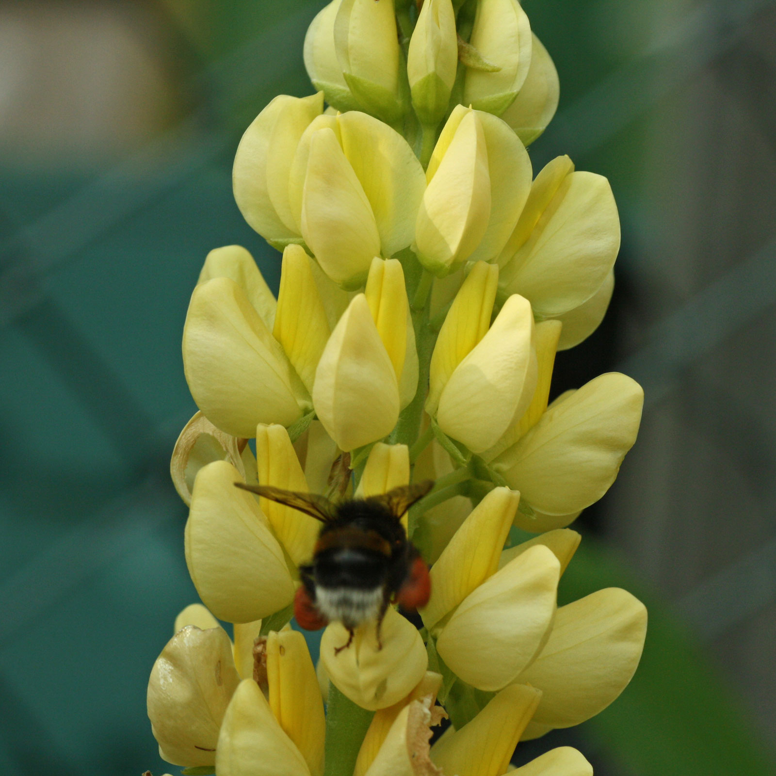lupinus-polyphyllus-2