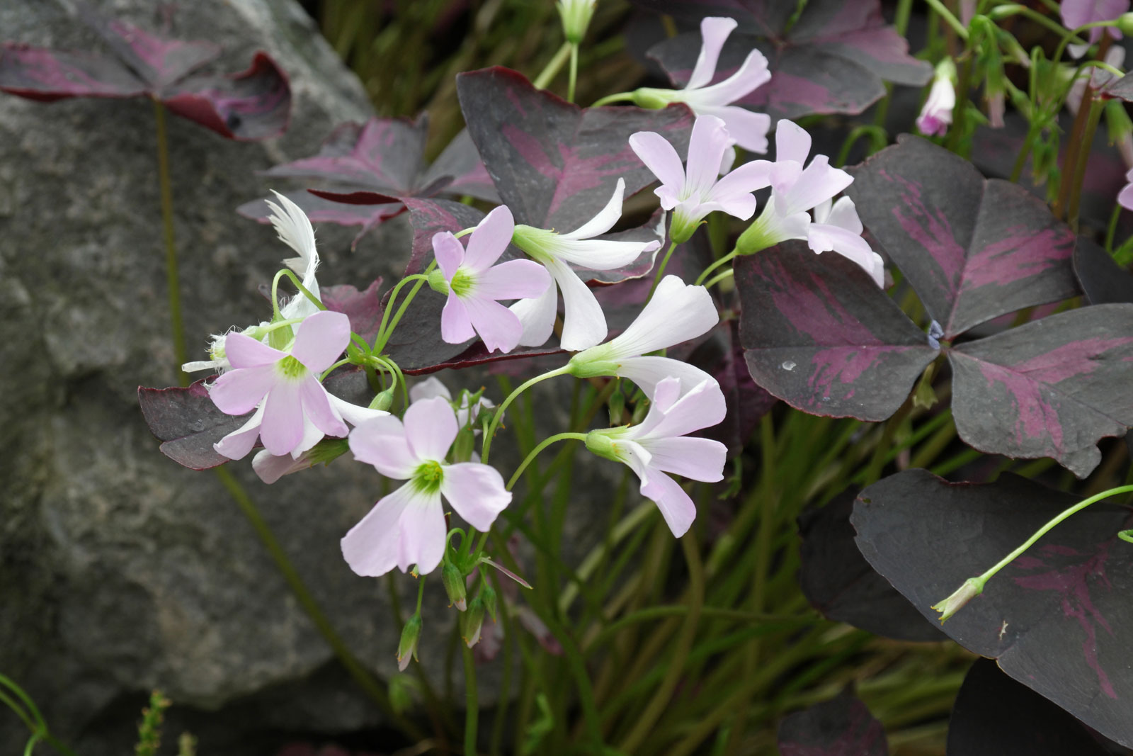 oxalis-triangularis-3