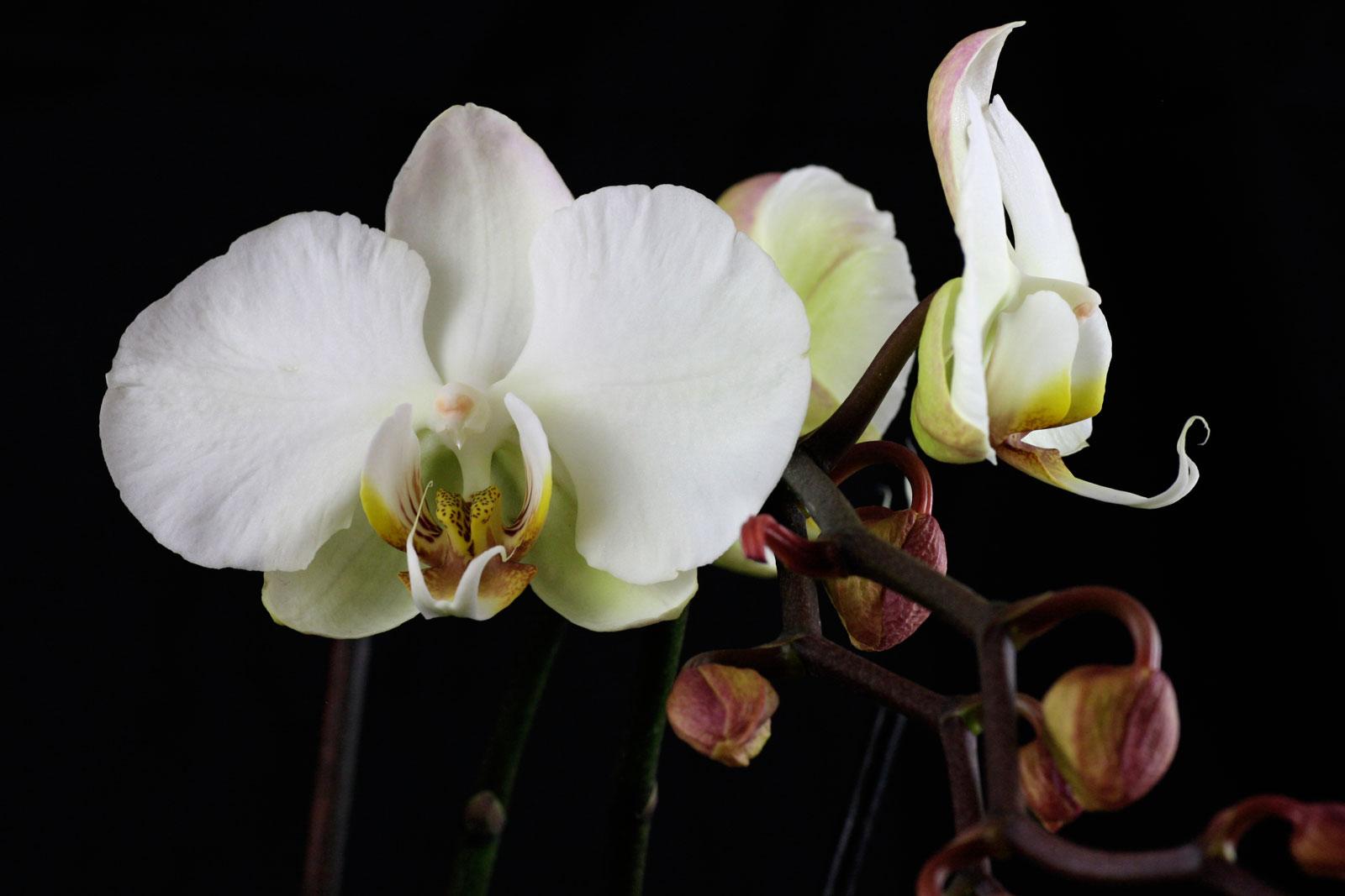 phalaenopsis-cv-2