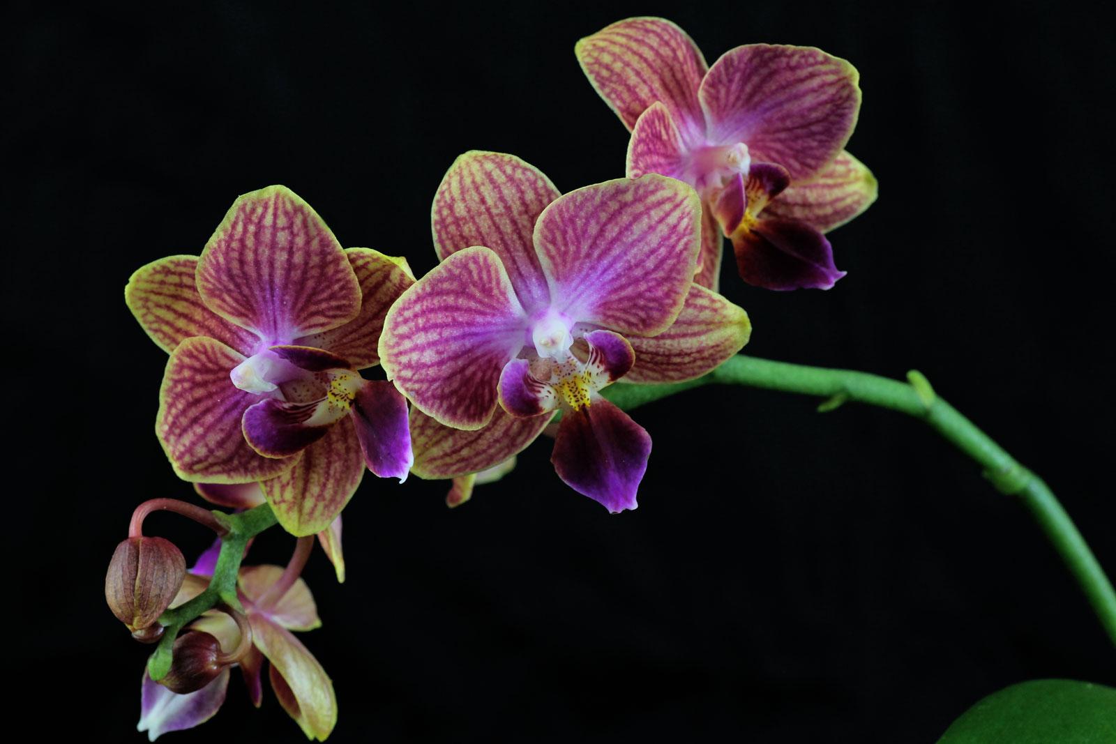 phalaenopsis-cv-3