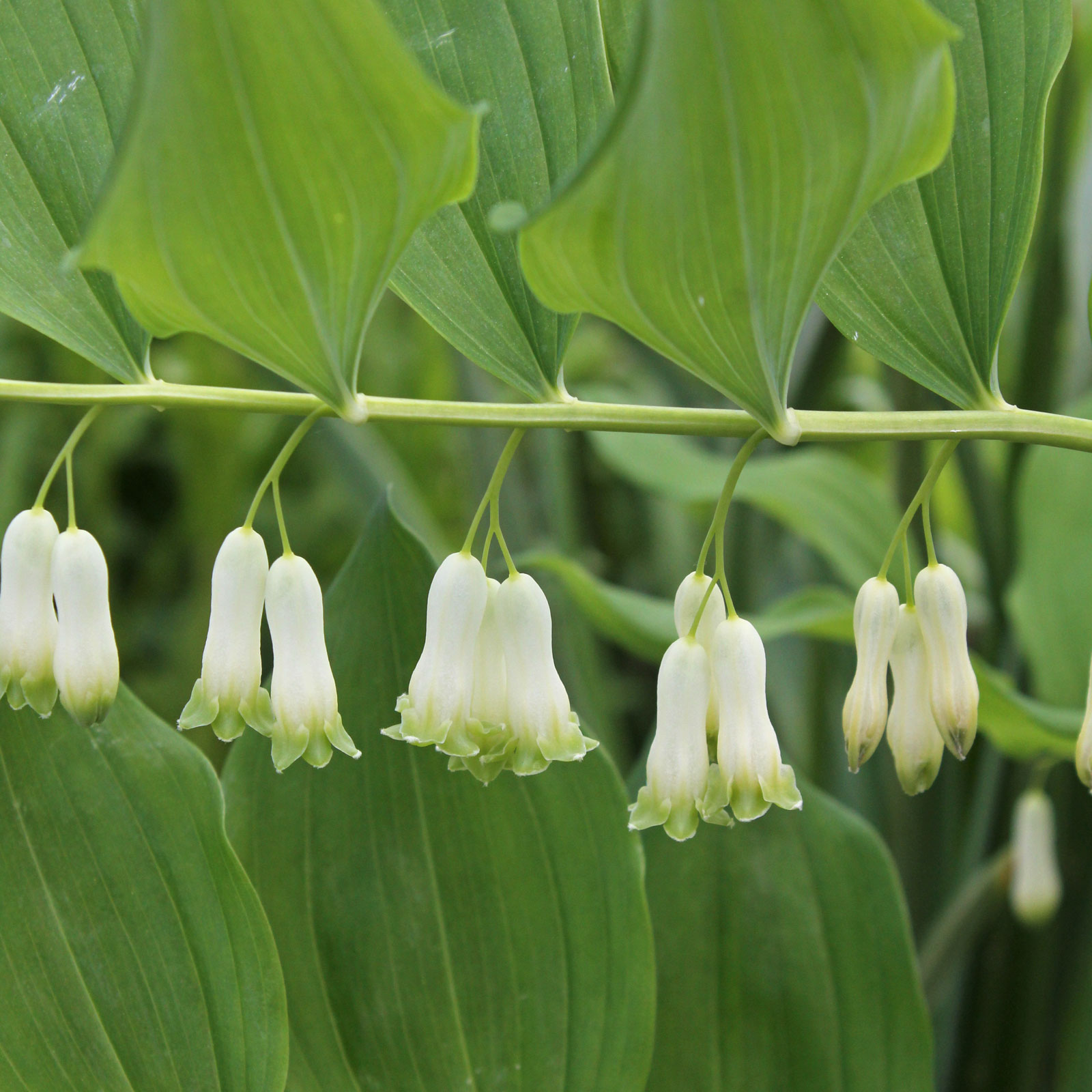 polygonatum-multiflorum-1