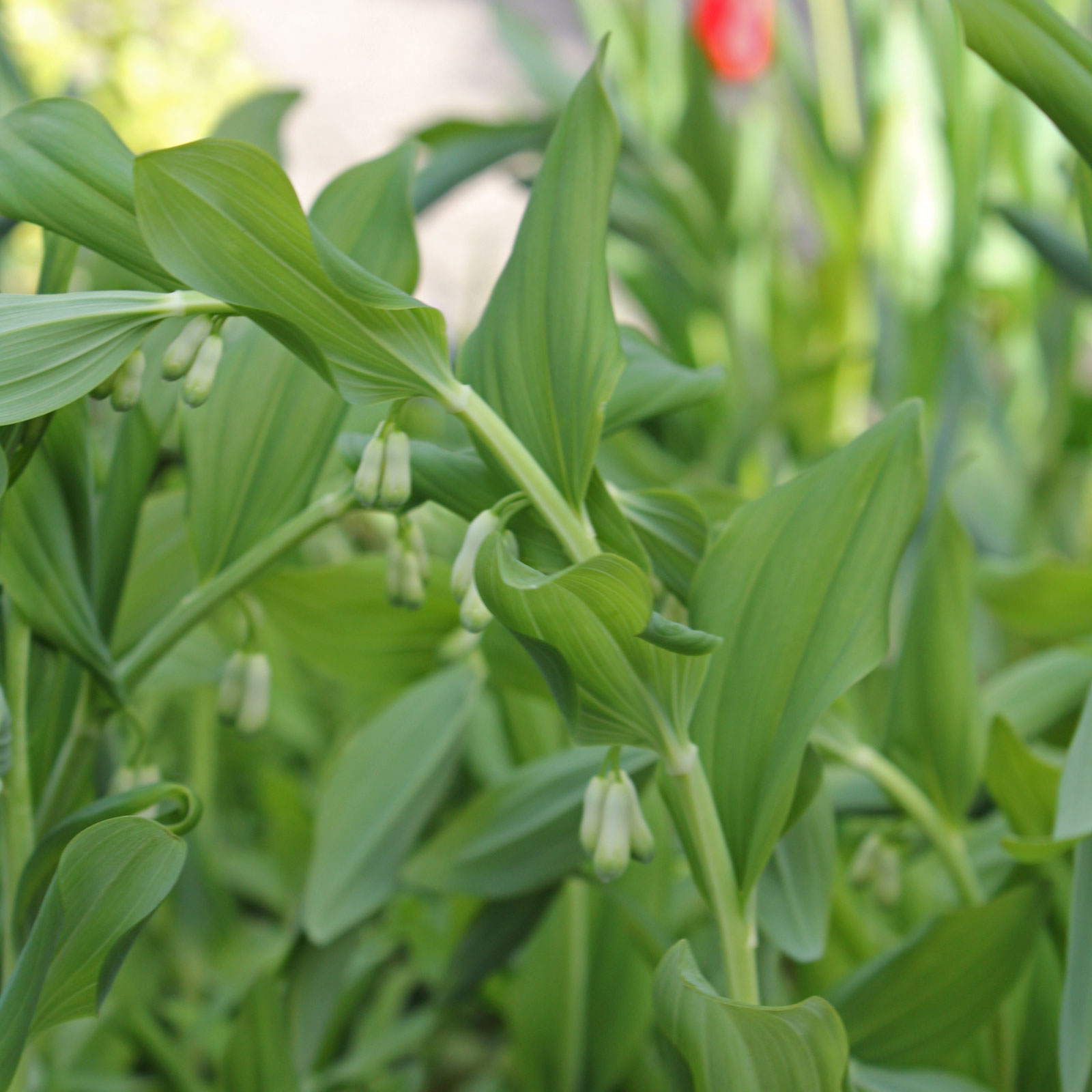 polygonatum-multiflorum-2