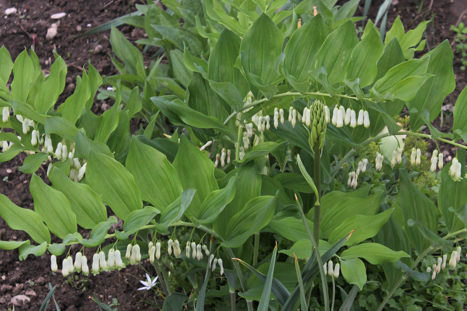 polygonatum-multiflorum