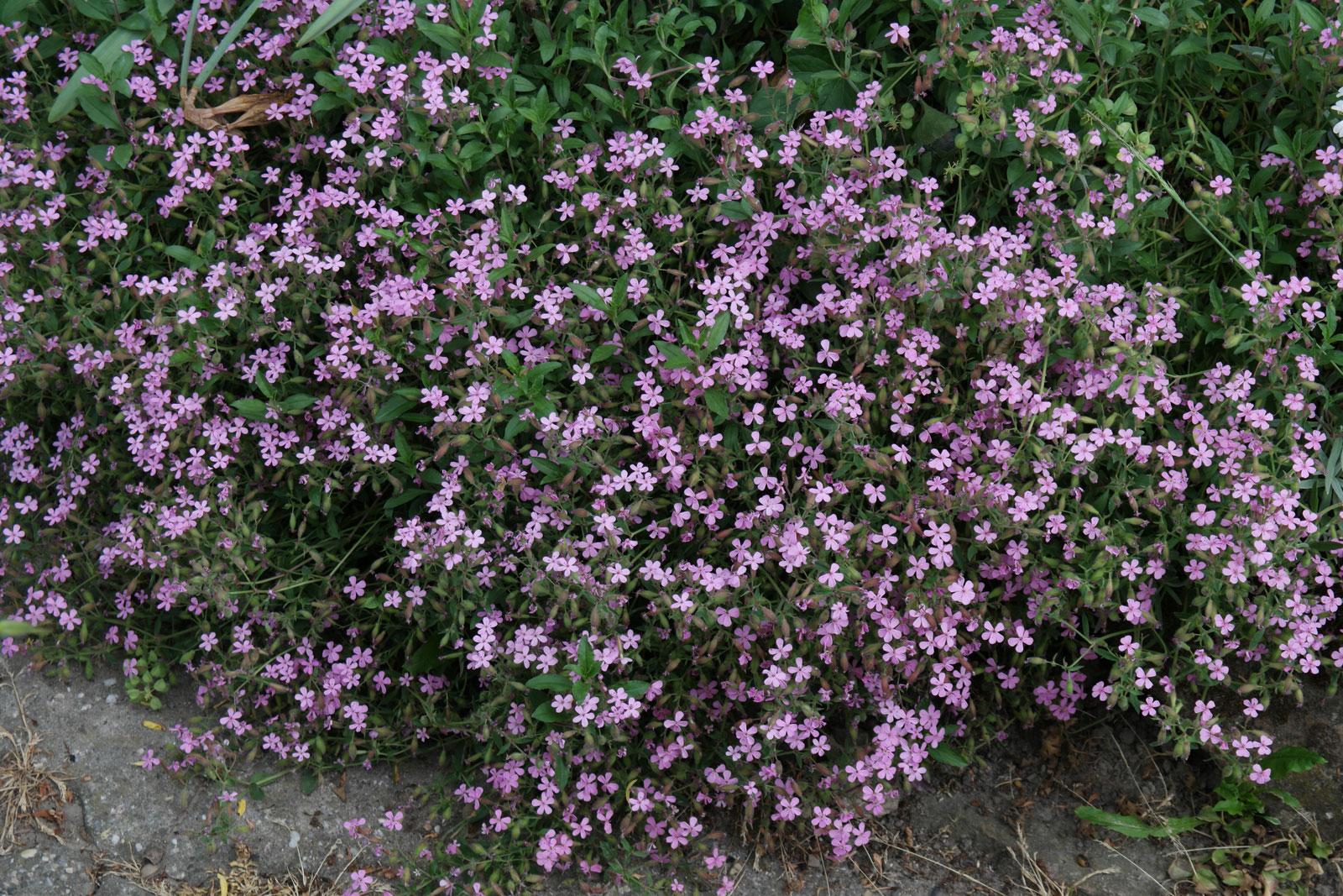 saponaria-ocymoides-2