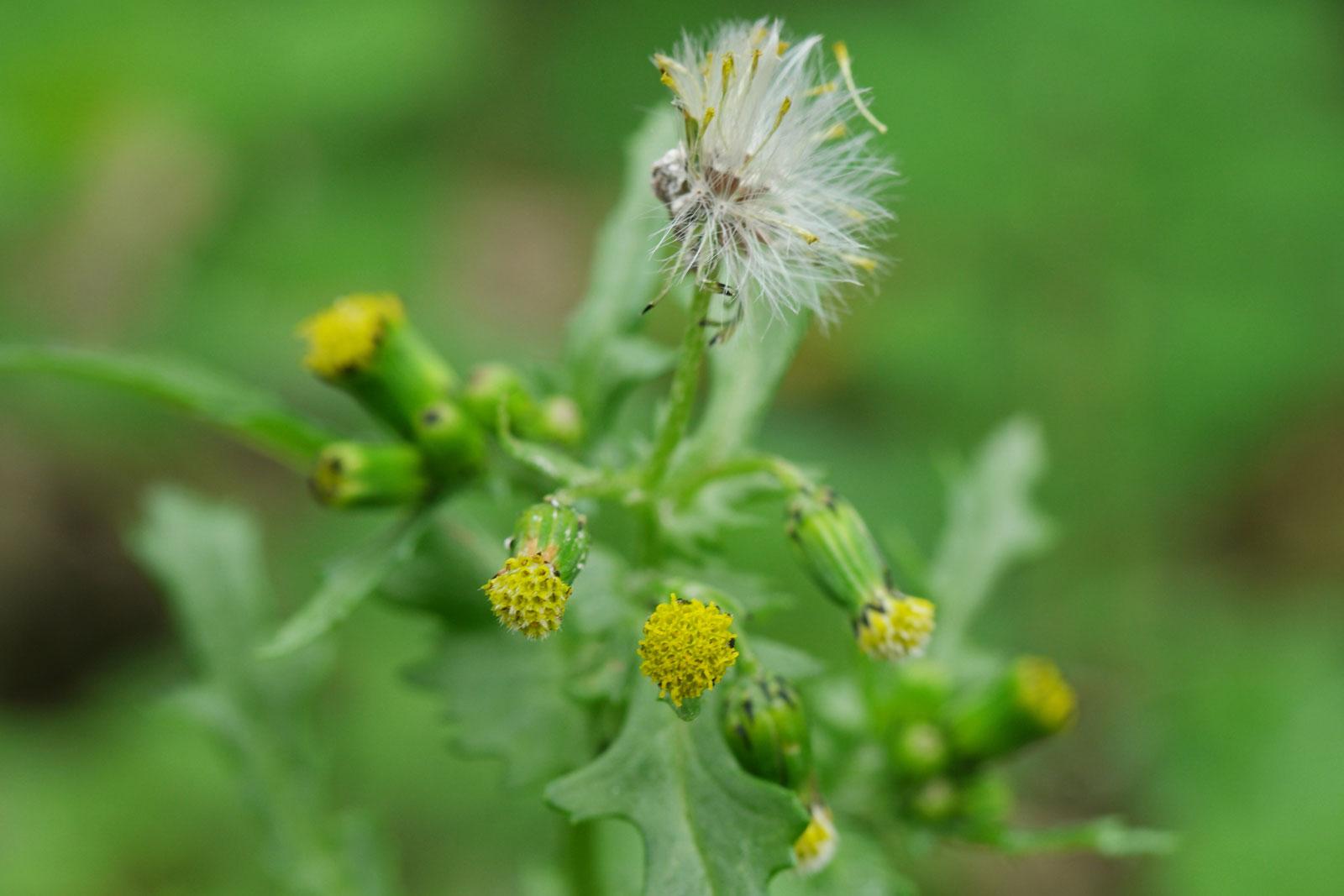 senecio-vulgaris-2