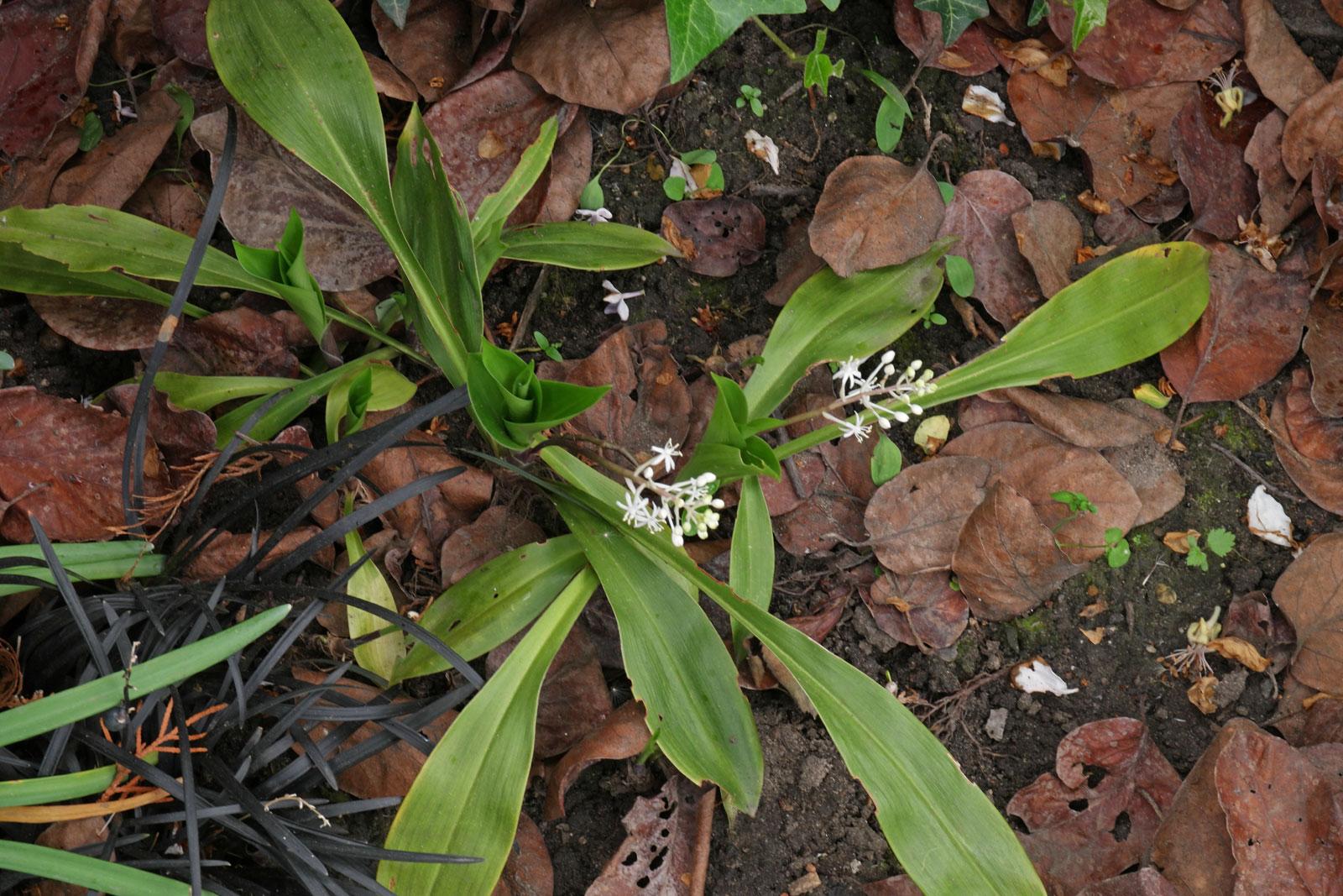 speirantha-gardenii-2