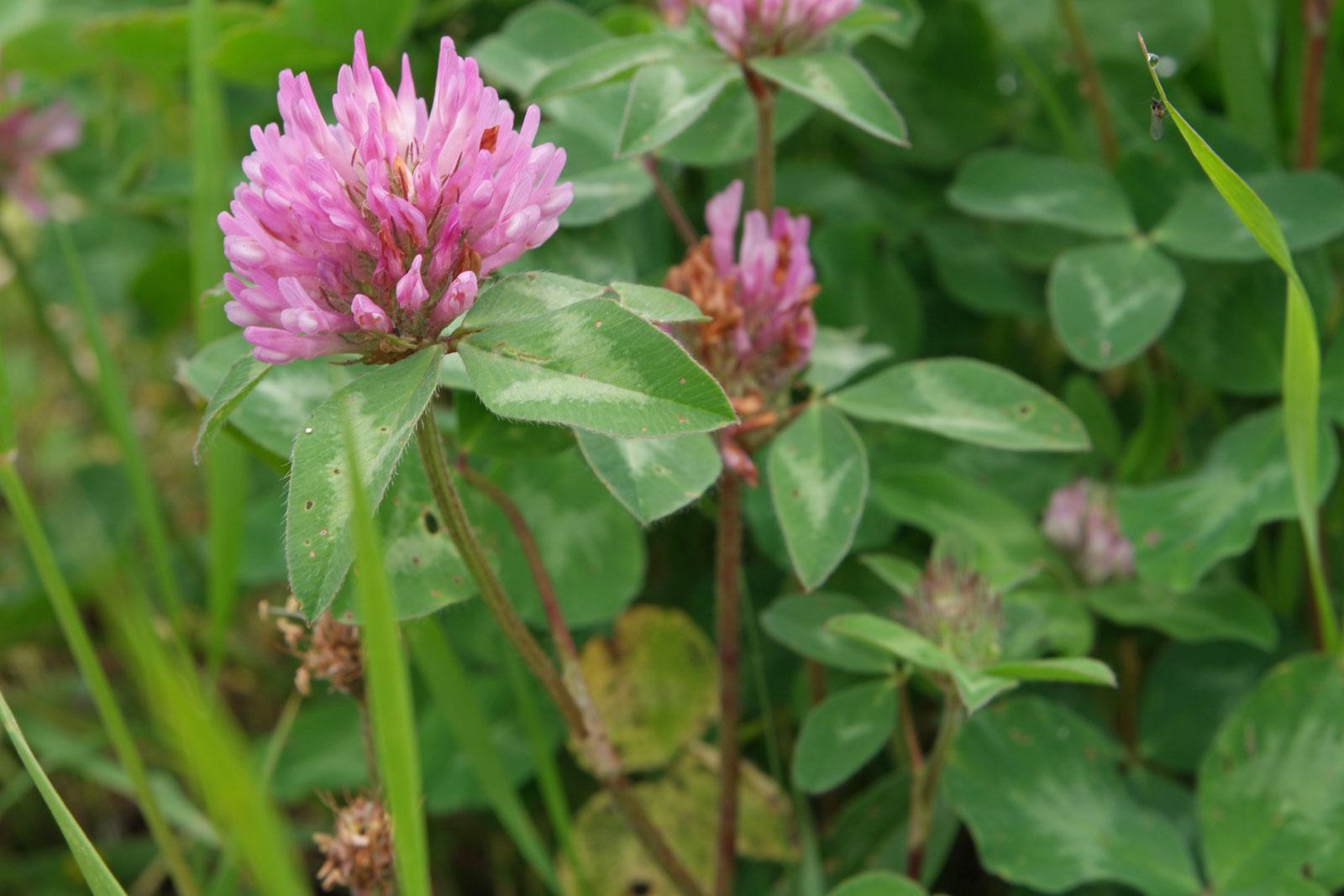 trifolium-pratense-1