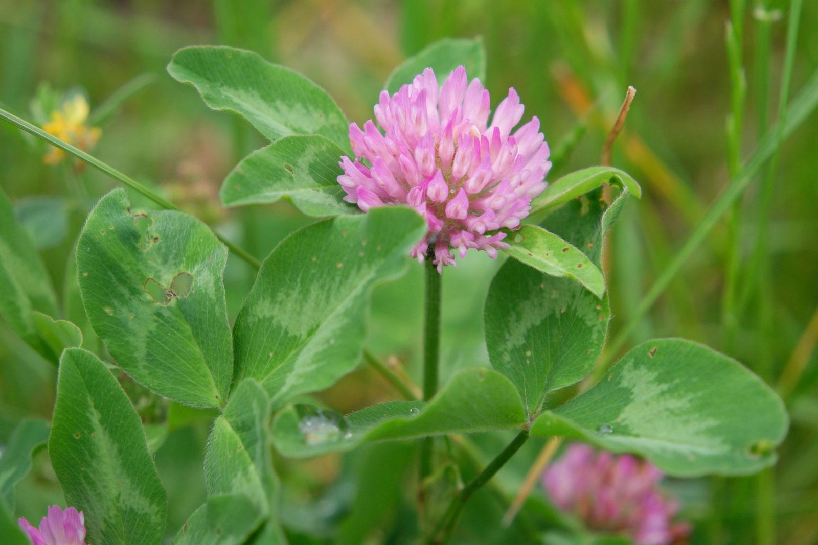trifolium-pratense-2