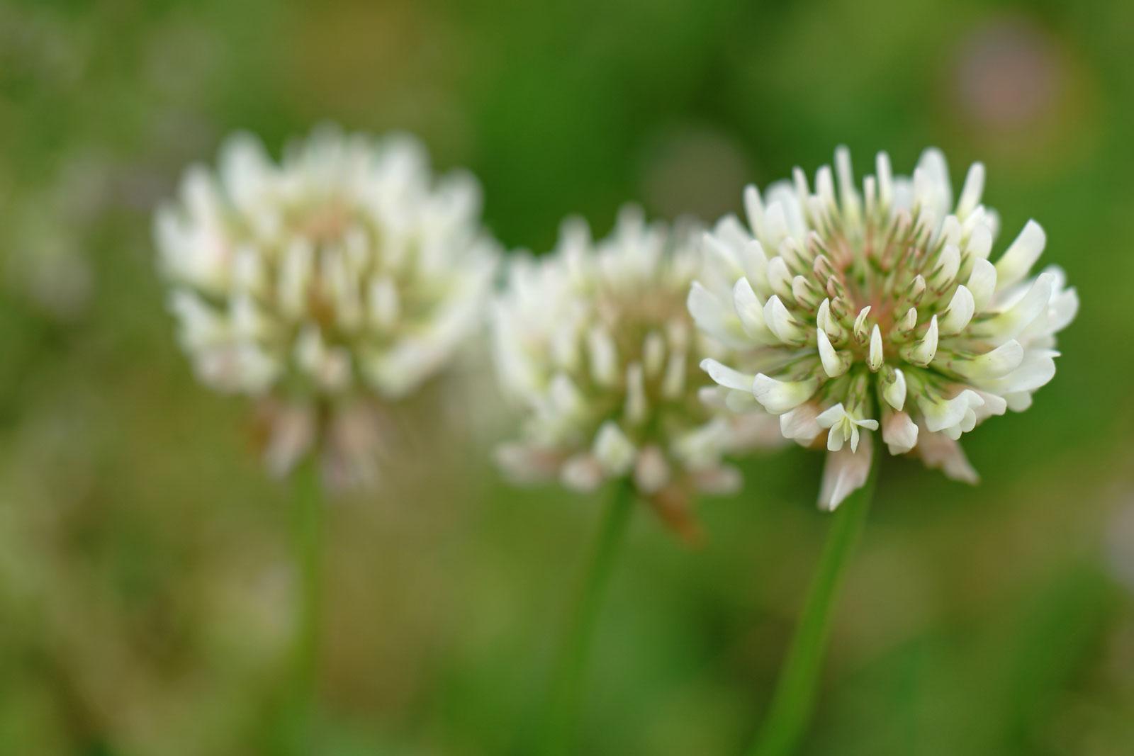 trifolium-repens-2