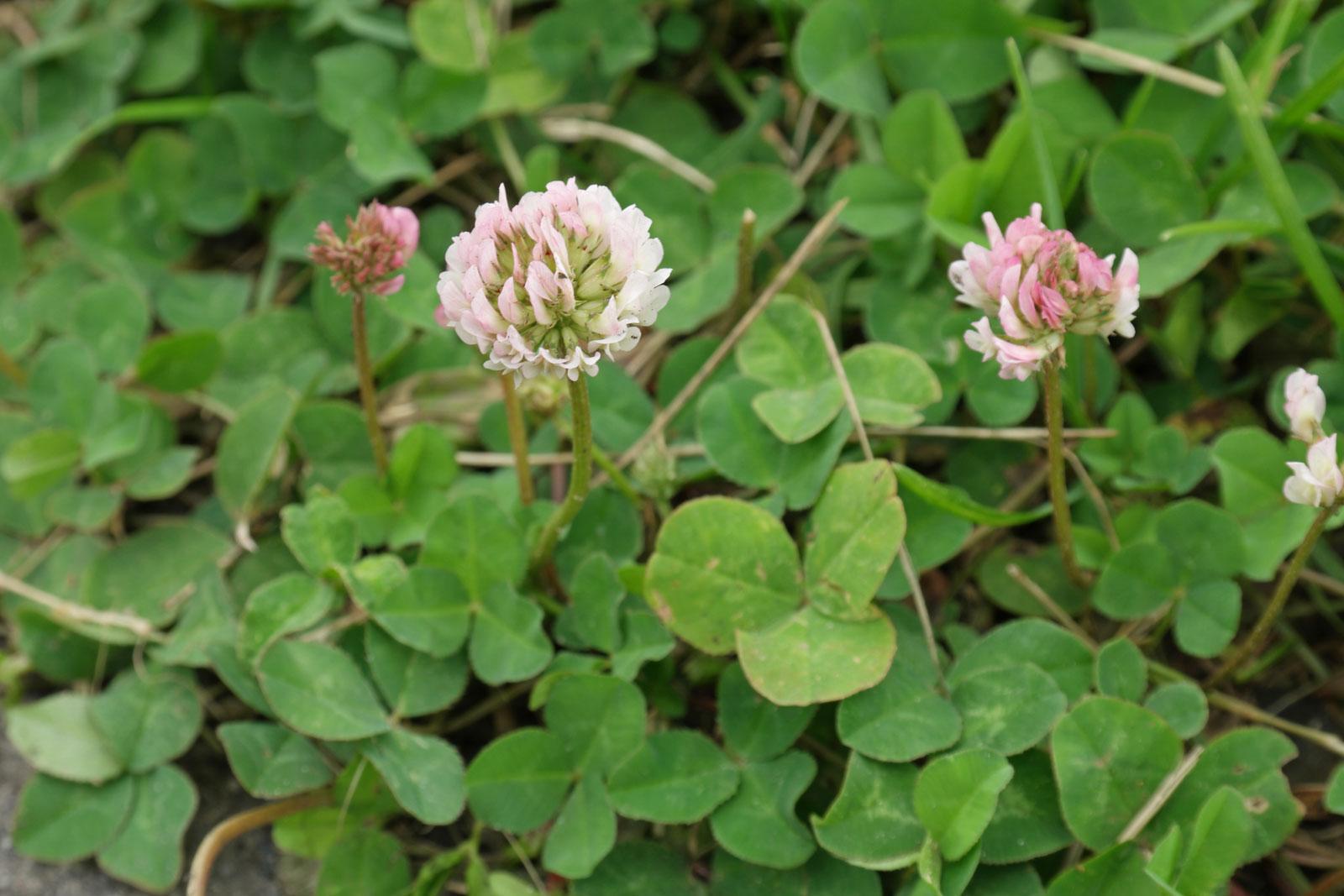 trifolium-repens-3