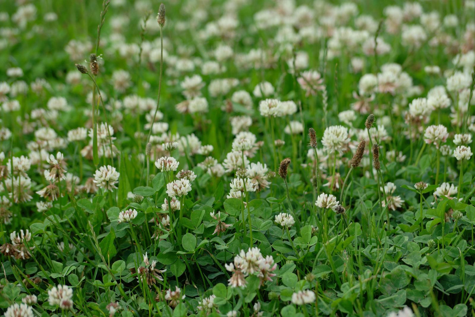 trifolium-repens-4