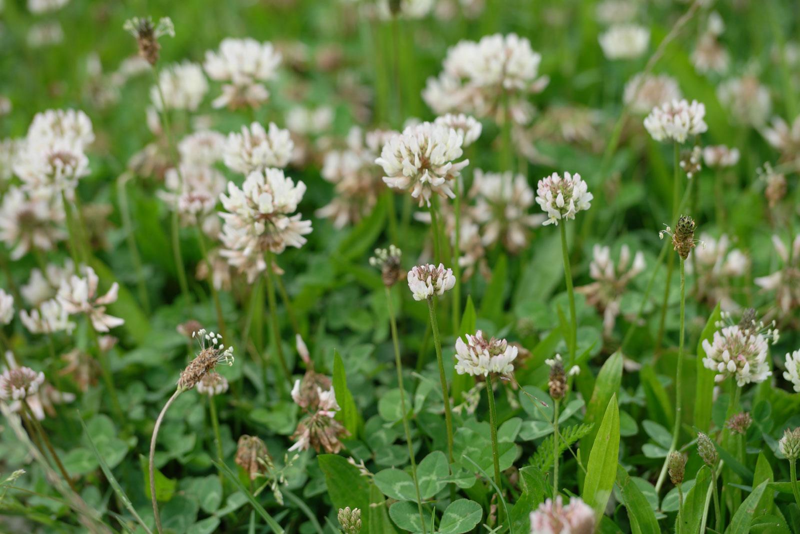 trifolium-repens-5