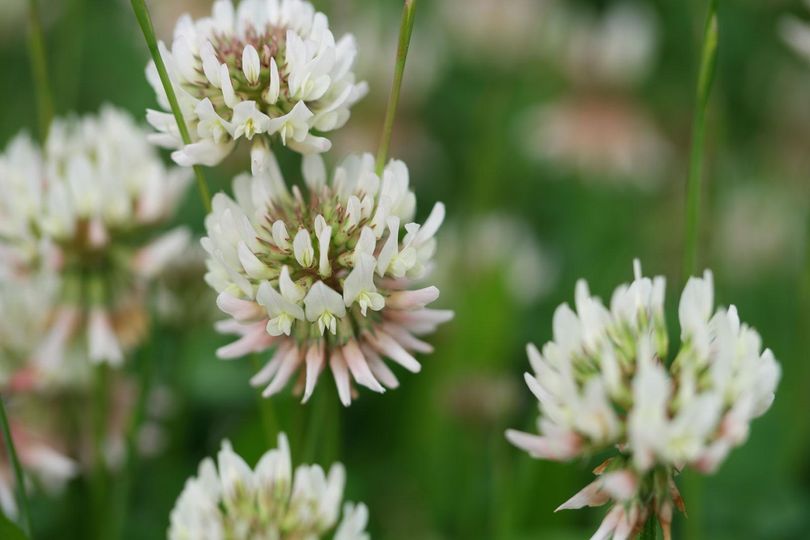 trifolium-repens-6