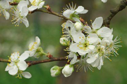 Prunus domestica ssp. syriaca