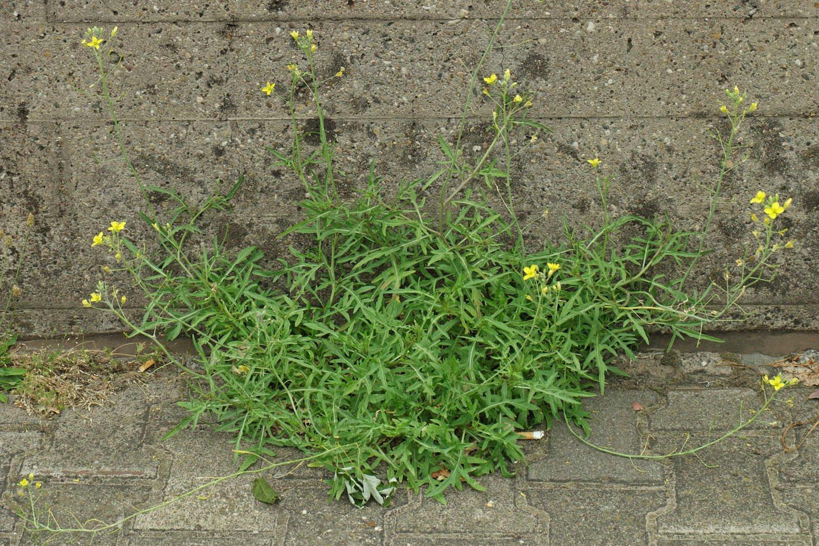 Diplotaxis tenuifolia