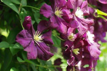 Clematis × jackmanii