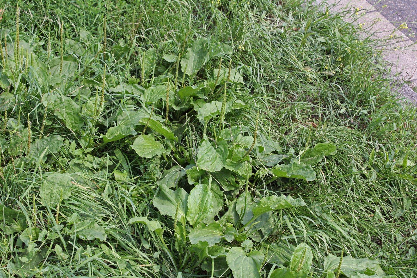 Plantago major