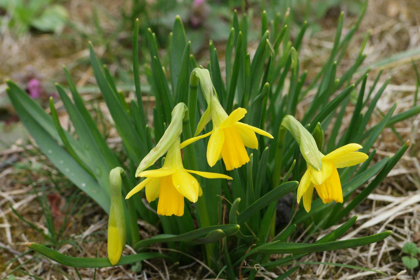 Narcissus cyclamineus Tete a Tete