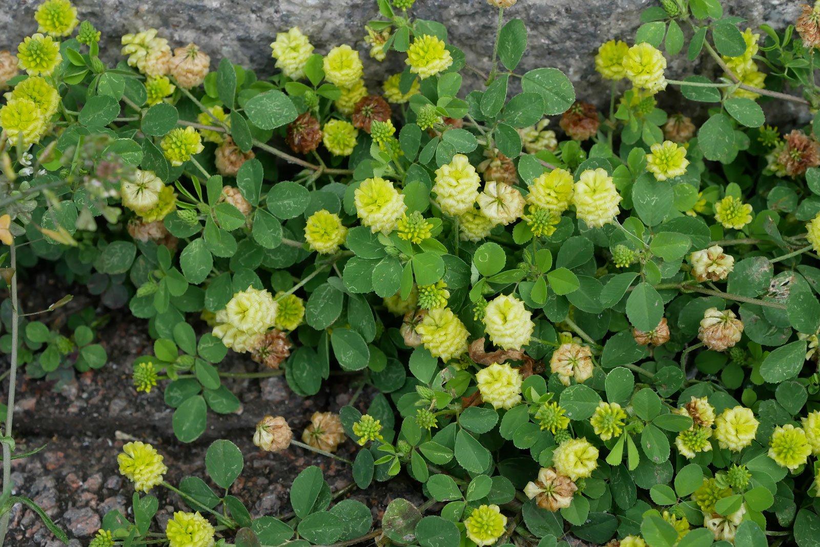 Trifolium campestre