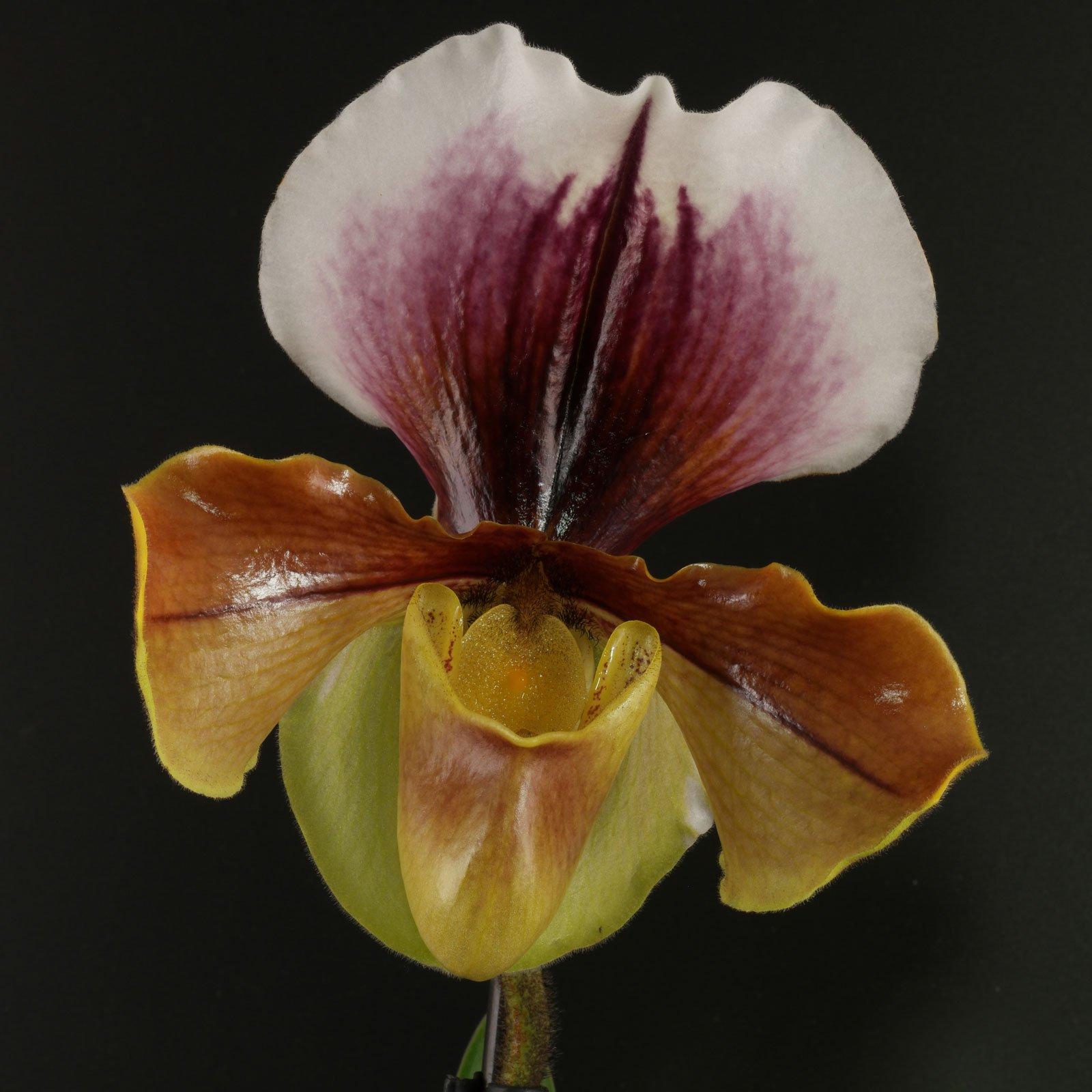 Paphiopedilum Amerikanische Hybride