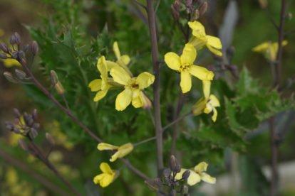 Rotkohl Blüten