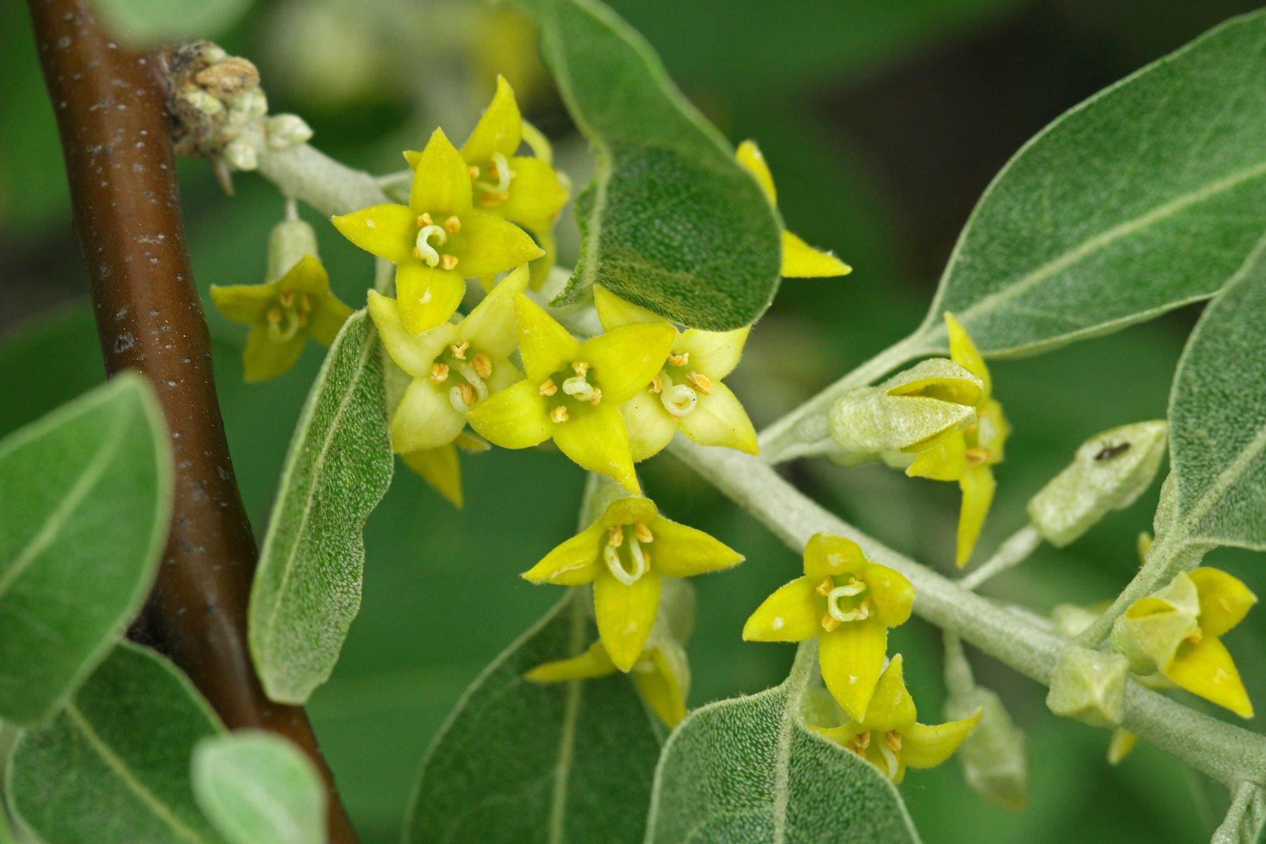 Ölweide Blüten
