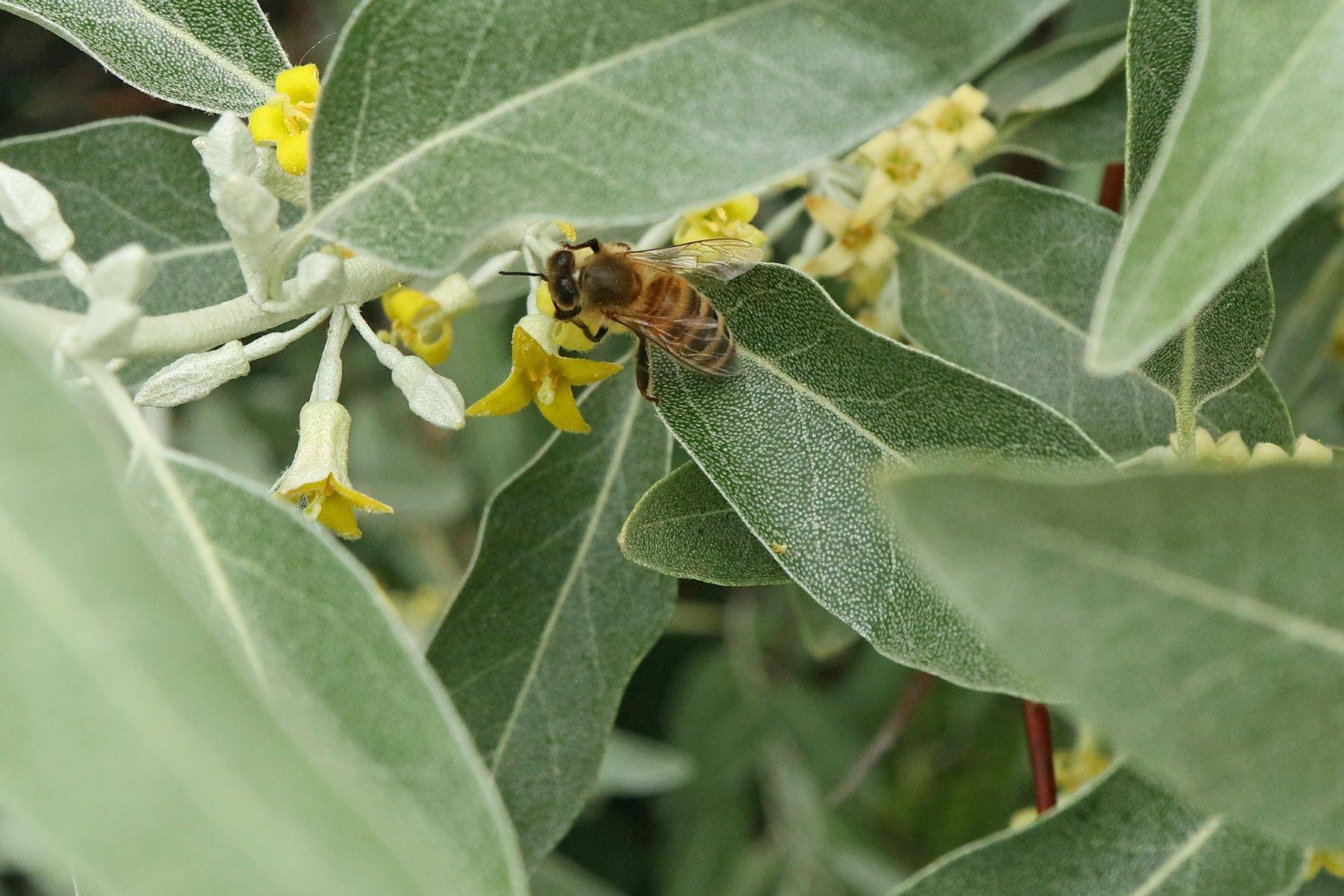 Ölweide Honigbiene