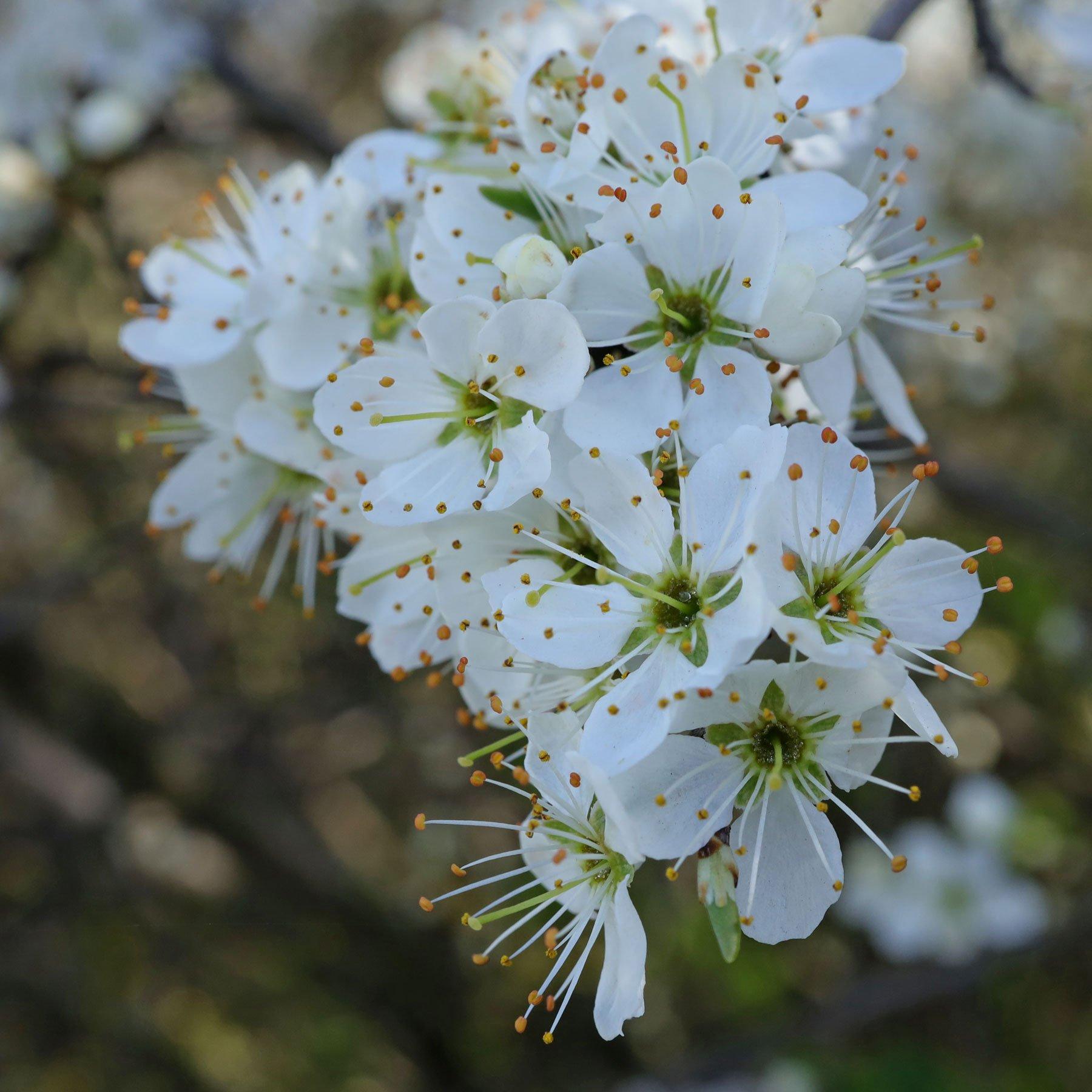Schlehdorn Blüten