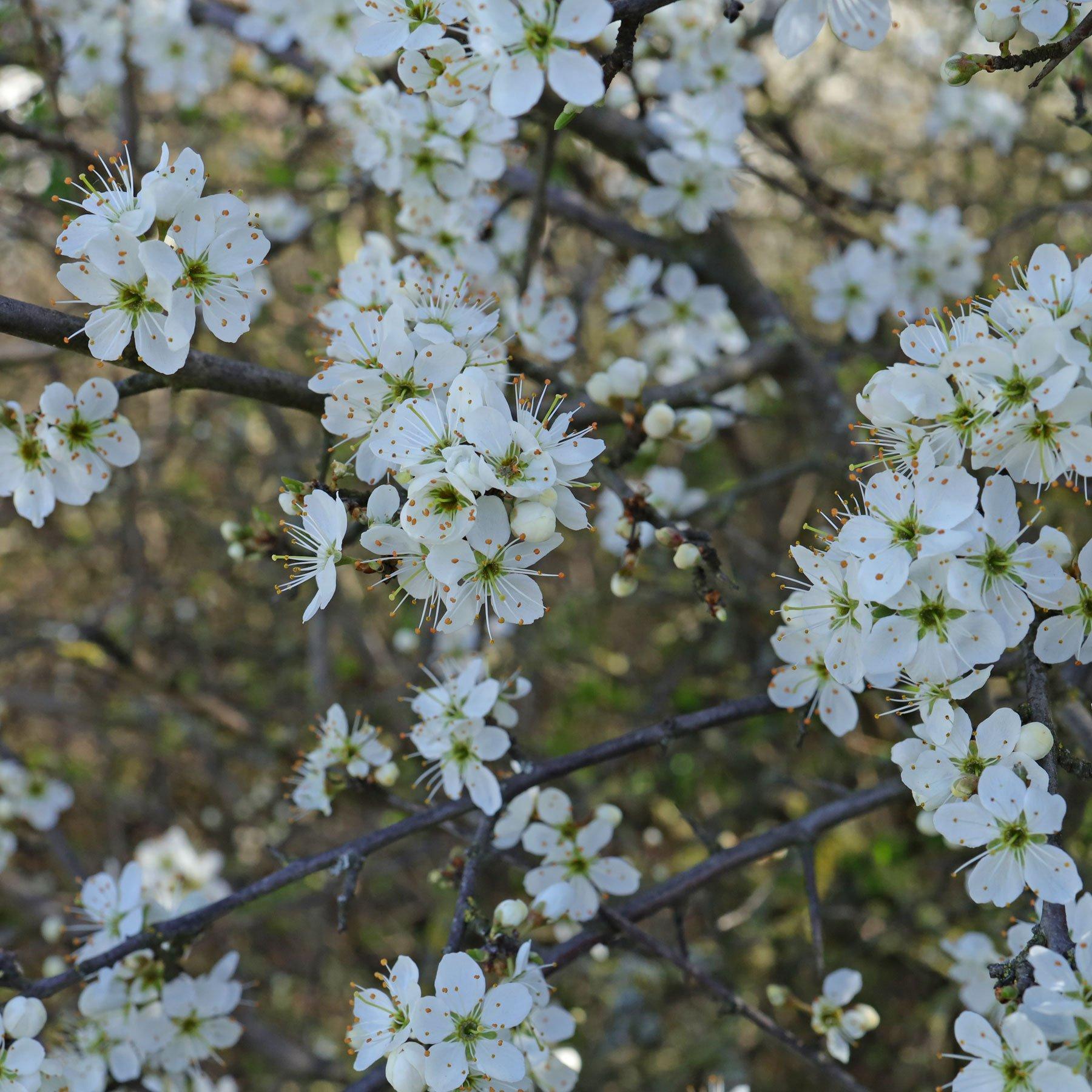 Schlehe Blüten