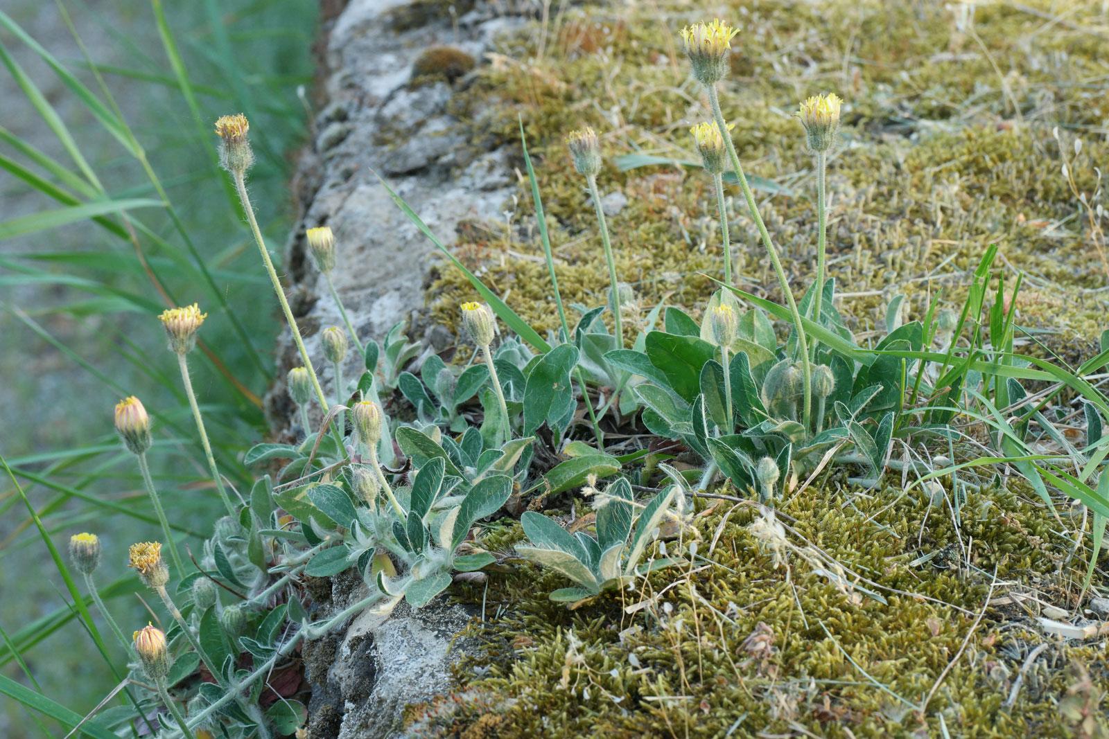 Hieracium pilosella