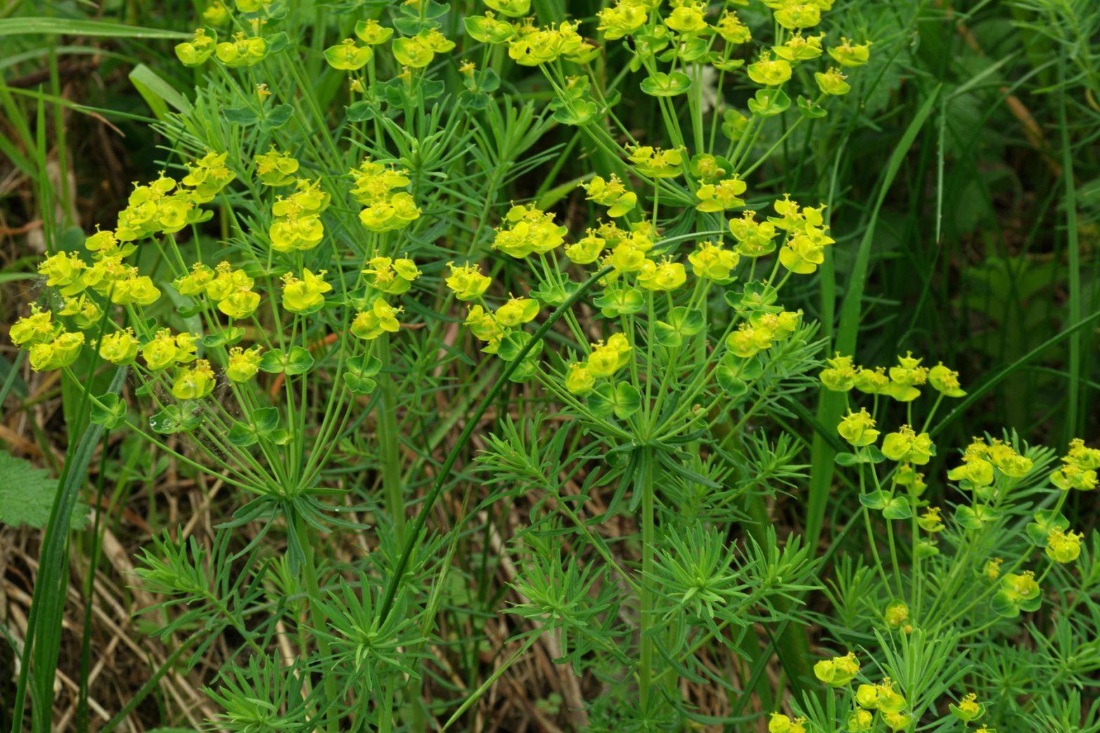 Euphorbia cyparissias Zypressen Wolfsmilch